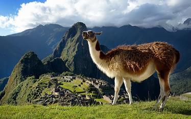 Llamas-in-Perú